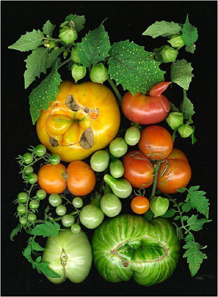 Heirloom Tomatoes 4 - Scanner Photography By Ellen Hoverkamp