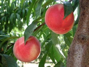 Introduction to Home Fruit Growing | Dave Wilson Nursery. We stock Dave Wilson fruit trees- Many varieties!