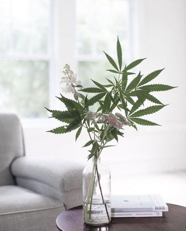 """Cannabis Legalization Dreams: What a beautiful plant! This plant geek dreams of tending a sweet, healing mother cannabis plant. • Women Grow (@womengrow) on Instagram: """"Living room decor goals ⠀ [ by @artduchanvre ]"""""""