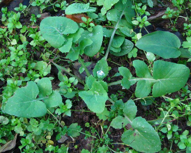 Sonchus oleracius ( crespino, ingrassamuli,cicerbita,cardedda liscia) Usi in cucina. Le foglie giovani in insalate, per minestre, frittate e ripieni. Curiosità. In passato le radici venivano tostate, macinate e adoperate come surrogato del caffè