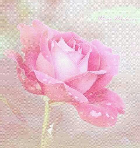 986 best Roses images on Pinterest | Blossoms, Pink roses and ...