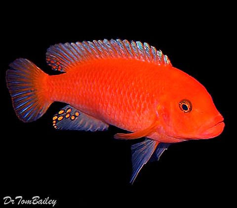 """Premium Red Zebra Mbuna Cichlid from Lake Malawi in Africa, 1.5"""" to 2"""" long"""