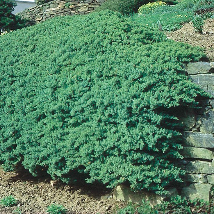 22 Best Garden Junipers Images On Pinterest Evergreen