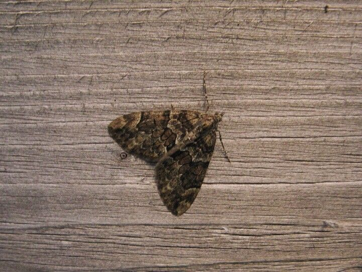 Spruce carpet moth
