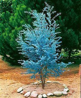 Amazon.com: Cider Gum Eucalyptus Herb 20 Seeds - Eucalyptus gunnii: Patio, Lawn