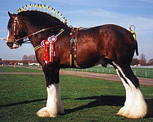 Shire horse, a breed of draft horse native to central England. It is equal in weight to the Belgian horse and is usually slightly taller. Introduced to the United States in the late 1800s, he was never as popular as the Clydesdale or Percheron. It is similar in appearance to the Clydesdale with feathery fetlocks.