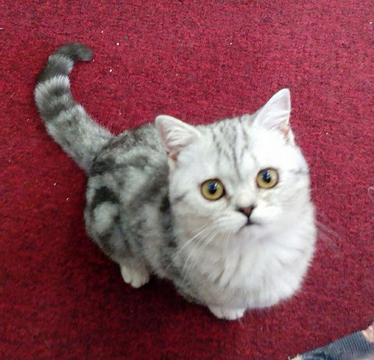 British Shorthair- Cats of the Ozarks