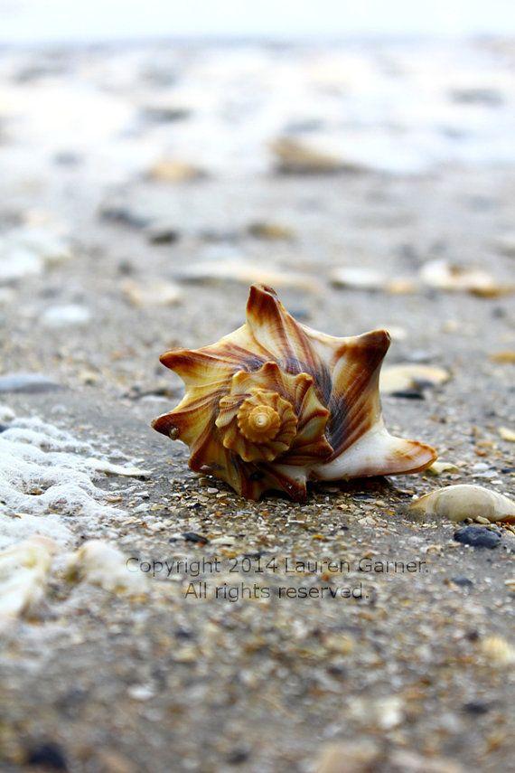 Botany Bay Shell  Conch Whelk Welk Edisto Beach SC by FlashForward, $12.00
