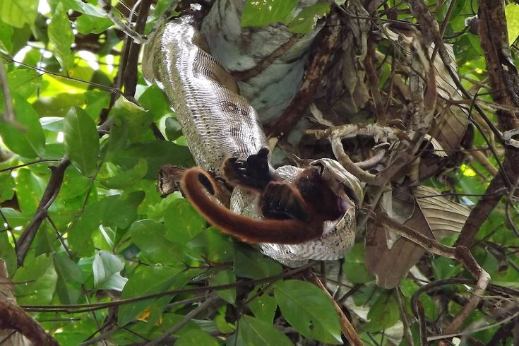 A boa constrictor eating an adult female Pur�s red howler monkey. Usually boa constrictors have been known to eat smaller animals.