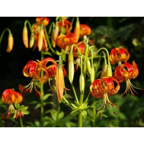 Bulbi crini Pardalinum - raritate