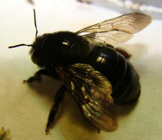 Carpenter Bess Sting Bumble Bee Wasp Killer Pest Control Companies In Los Angeles