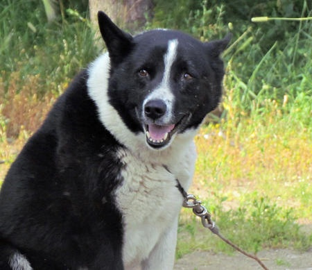 texas the karelian bear dog