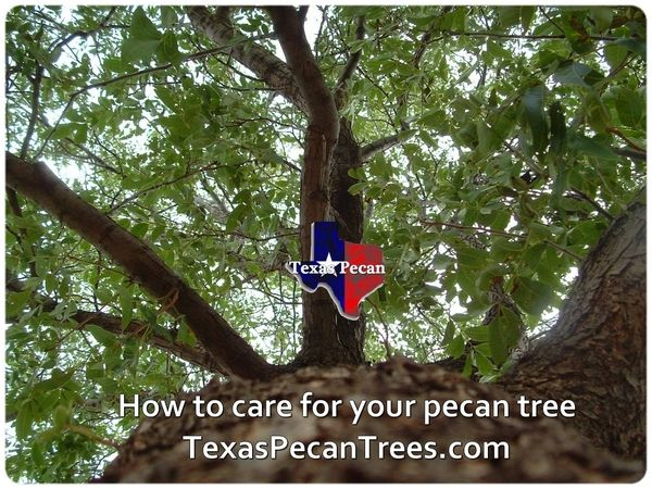 Texas Pecan Trees Information On Growing Pecan Trees