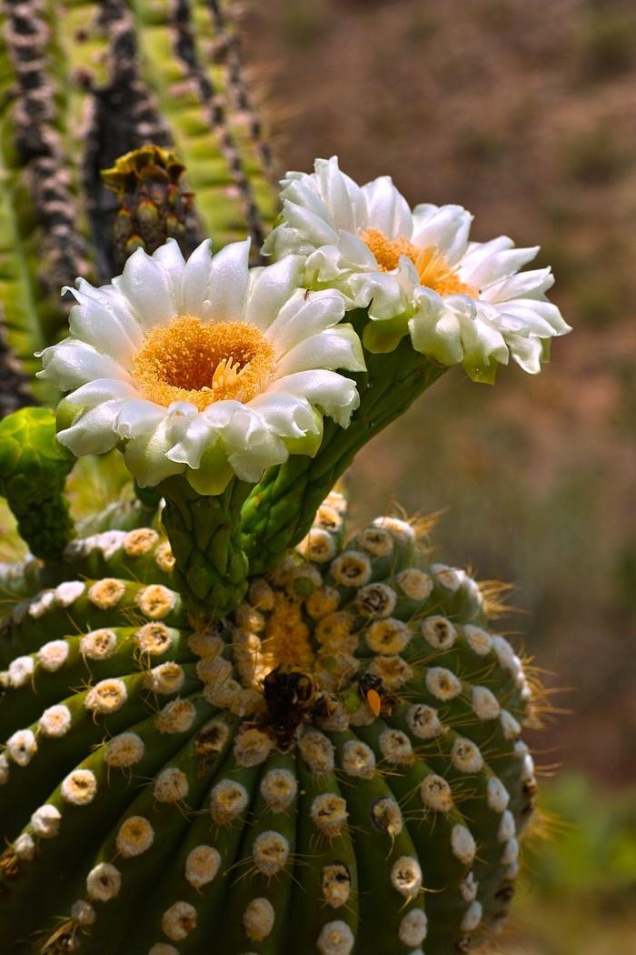 Botanical Cactus - California                                                                                                                                                                                 More