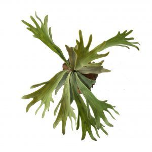 Greenery Imports Artificial Plants. We are Australia's Largest Importer of quality Artificial Staghorn plants and Fibreglass pots. We deliver Australia Wide.
