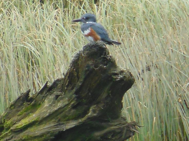 Belted Kingfisher on a old rotted tree root in a slough of the Puntledge River Estuary as it enters Comox Habour in Courtenay, B.C.