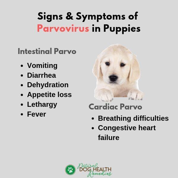 Parvo in Puppies Symptoms, Treatment & Prevention Dog
