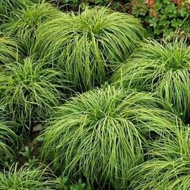 Turzyca wiosenna 'The Beatles' Carex caryophyllea