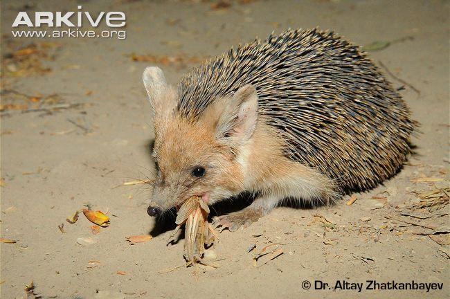 Indian Long-eared Hedgehog (Hemiechinus collaris)
