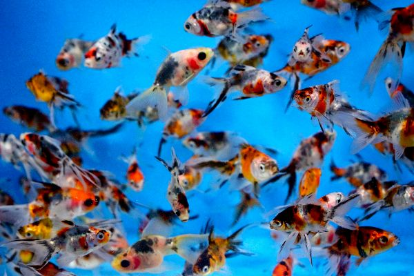 12 best fresh water tank images on pinterest fish tanks for Blue ridge fish hatchery