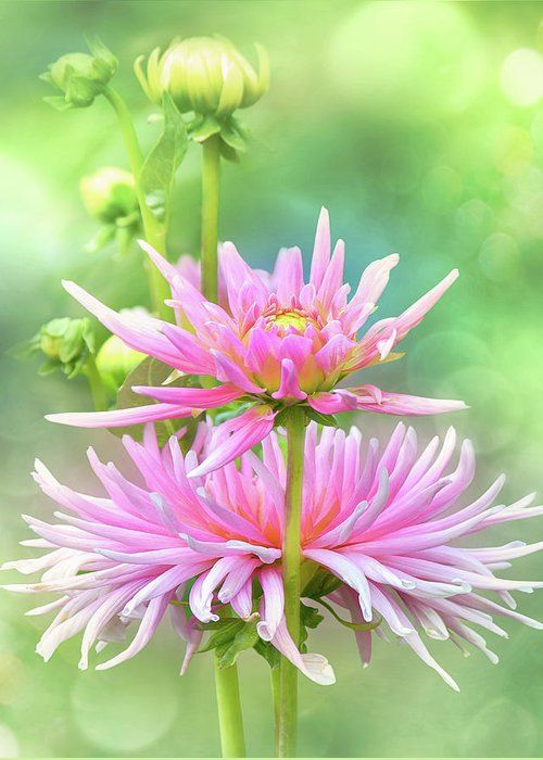 Chrysanthemum Japanese Garden: 346 Best Images About Mums On Pinterest