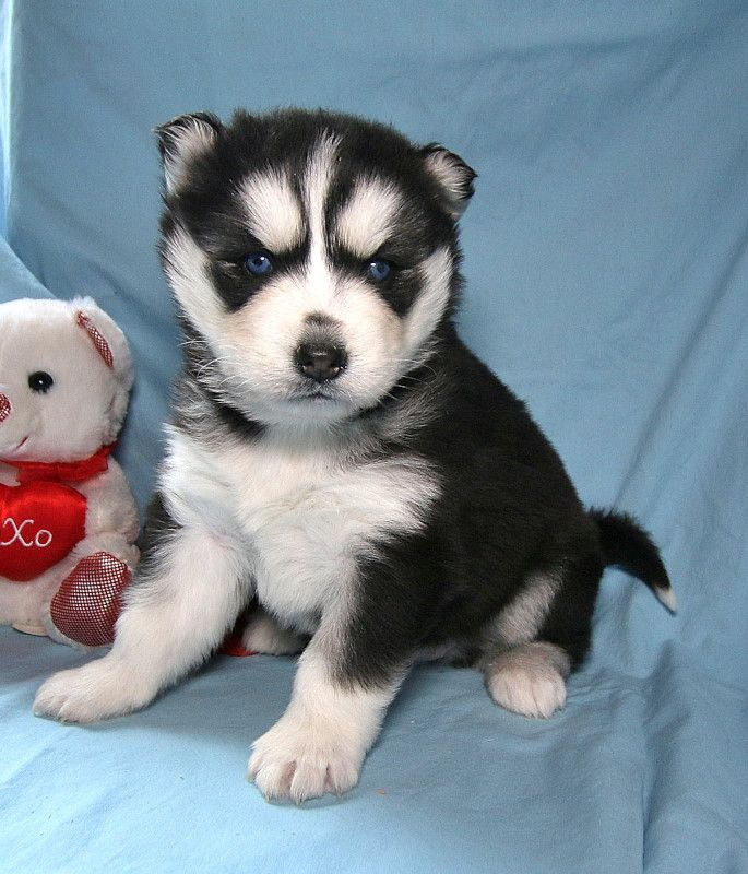 Huskylove Sweet And So Adorable Leddy Is Just Time For