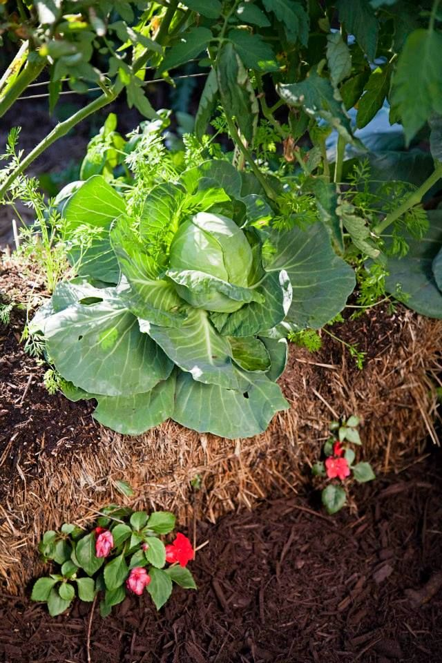 47 Best Ideas About Straw Bale Gardening On Pinterest Gardens Urban Gardening And Vegetable