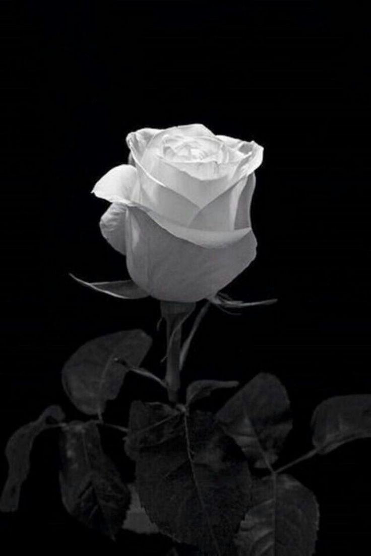 Sign in | Черные розы, Белые розы, Картины роз