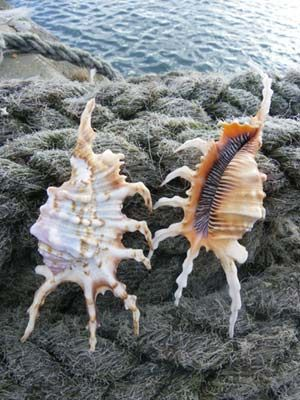 Lambis Scorpius is the common name for these  conch shells. They are a beautiful species of large sea snail and are more delicate and pointed than other conch shells.