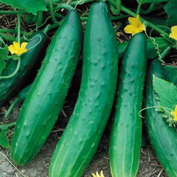 Garden Sweet Burpless Cucumber Seeds, this is what Jan grew in 2014 that gave her massive yields of great cukes.