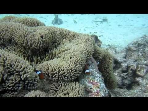 clown fish in indonesia