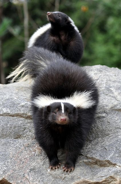 White Striped Skunks