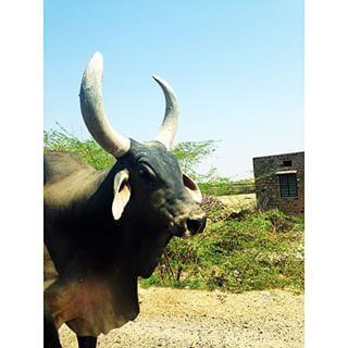 A big buffalo #wanderlust #worlderlust #WonderfulPlacesToGo #wonderfuldestinations #instaanimal #igers #india #instalike #instaindia #instafollow #instatravel #waterbuffalo #buffalo #nature