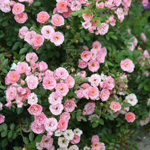 Rosa Oso Hy Pe Pink Shrubs Online Garden Crossings Center Offers A