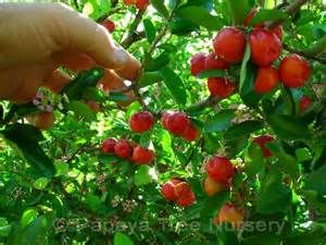 barbados cherry, meaning and definition - ixi dictionary and ...
