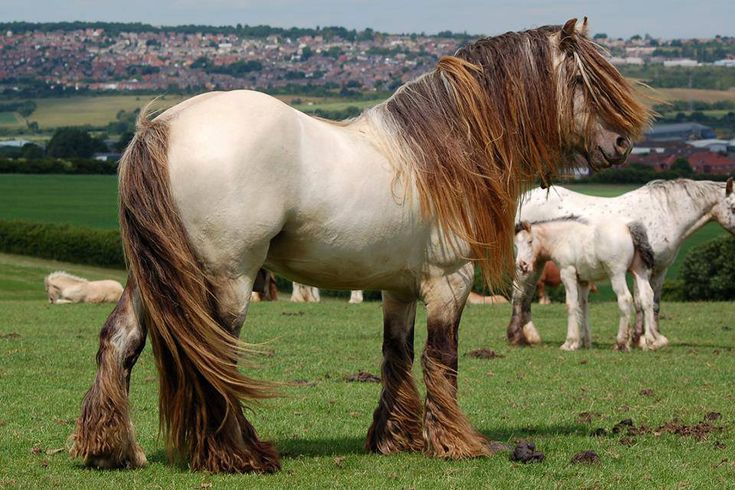 Another friend of mine's Traditional Irish Gypsy Cob, gorgeous horse built like a block with hair to spare.  Look at the view! LLK