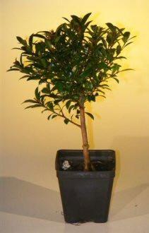 Pre Bonsai Flowering Brush Cherry Bonsai Tree - Small(eugenia myrtifolia)-Pre Bonsai Trees - Oxemize.com