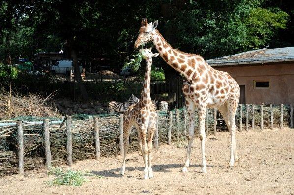 """Schweriner+Zoo+trauert+um+Giraffe+""""Maradi"""""""