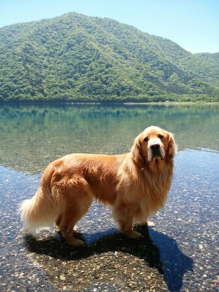Placid Commented Cool Dog Training Act Now Golden Retriever