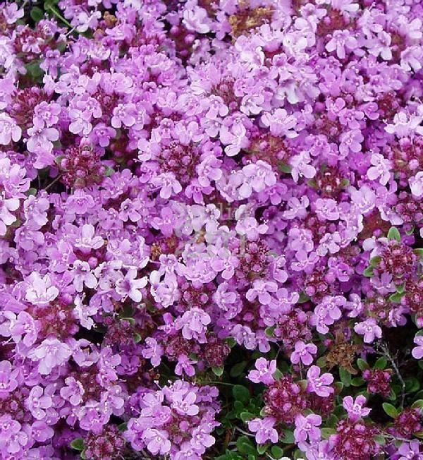 Plante tapissante au feuillage vert, très dense. Floraison rose en juin. Excellent comme couvre-sol. Plante pour endroits chauds et secs. Idéale pour les rocailles et entre les pavés.