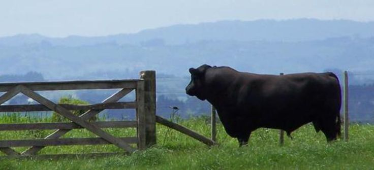 Australian Lowline Cattle of America | , CA 95638