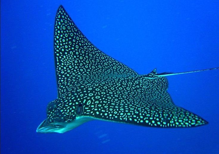 Spotted Eagle Ray. Like the one I saw yesterday!