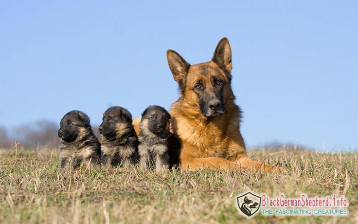 Solid Black Deutscher Schaferhund Rasse Info Preis Fakten Updated Black Deutscher Fakten Info Preis Rasse Schaferhunde Terrier Hund Wolf Hunde