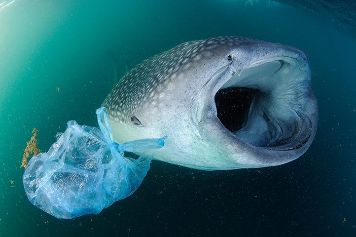 Credit: Thomas P. Peschak Pollution kills: as filter feeders, whale sharks are prone to ingesting waste plastic.