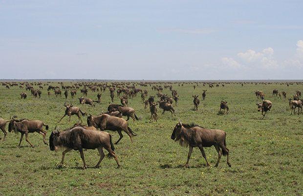 Gnous - Parc National du Serengeti