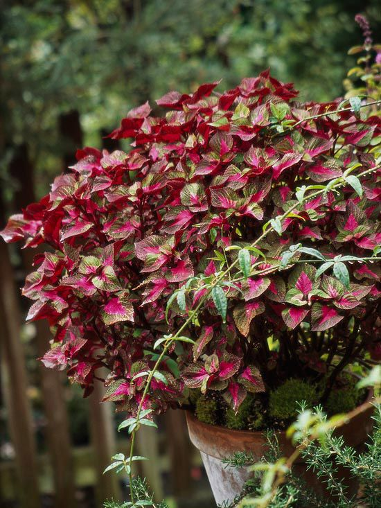 Great Annual Perilla    A coleus look-alike, perilla also features fabulous foliage, though in a more limited range of colors. Varieties such as 'Magilla' (shown here) offer variegated leaves.