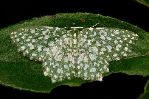 Berta chrysolineata