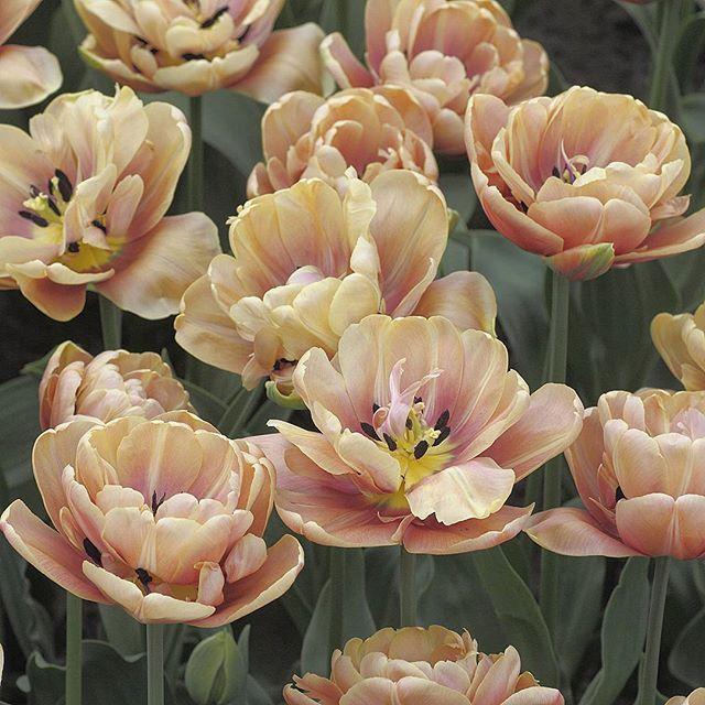 Roslinamiesiaca Tulipan Tulipa Odmiana La Belle Epoque Z Grupy Tulipanow Pelnych Wczesnych La Belle Epoque Double Ea Flowers Belle Epoque Plants