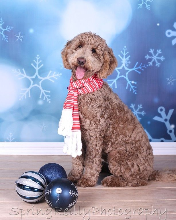 In studio Christmas Pet Portraits by Uxbridge, Durham Region, Ontario photographer Spring Reilly of Life's Elements Photography. www.springreilly.com