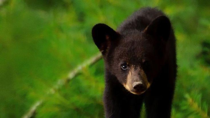 Petition · The Florida Legislature: The Florida Black Bear Habitat Restoration Act · Change.org